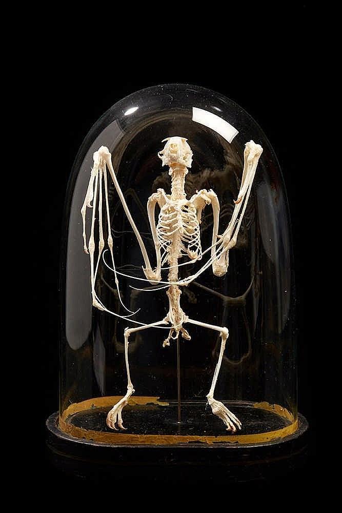 Squelette de chauve-souris sous globe. Epoque fin XIXe siècle pour le glob