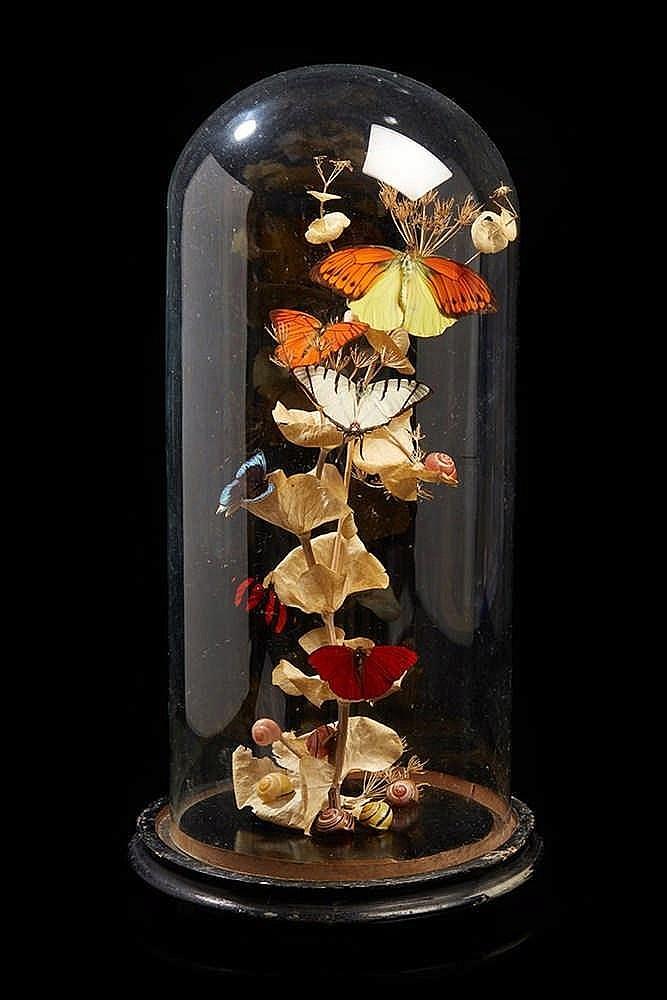 Ensemble de papillons traités au naturel sous globe. Epoque fin XIXe sièc