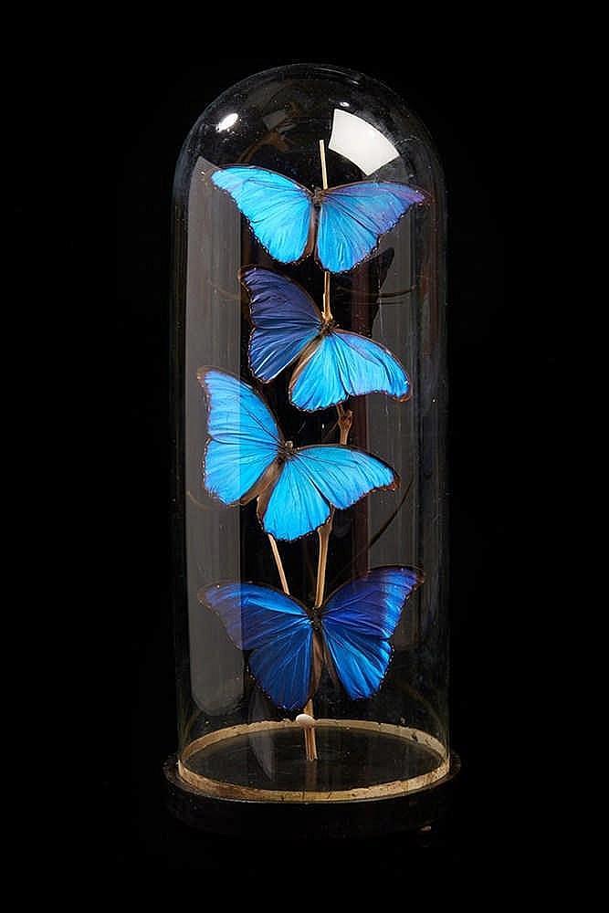 Ensemble de papillons  traités au naturel sous globe.  Epoque fin du XIXe s