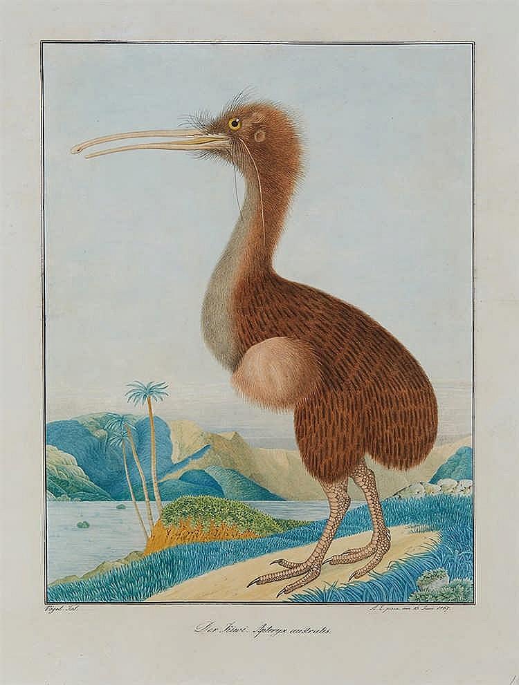 Aloys ZOTL (1803-1887)   Apteryx de Mantell   Aquarelle.  Signé et daté « A