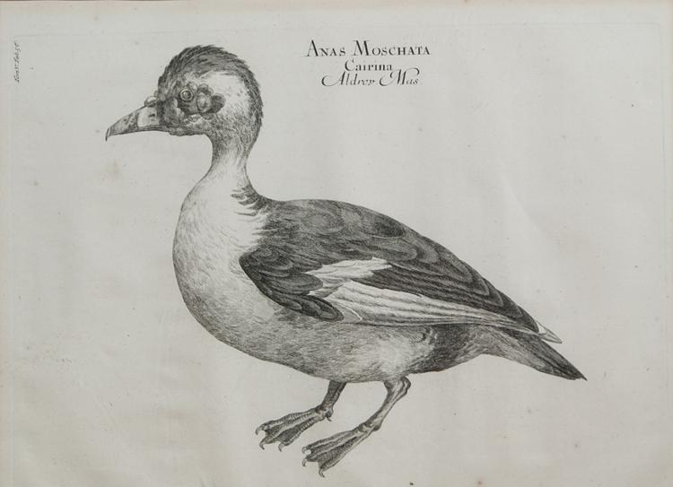 18th-century Engraving of a Muscovy Duck