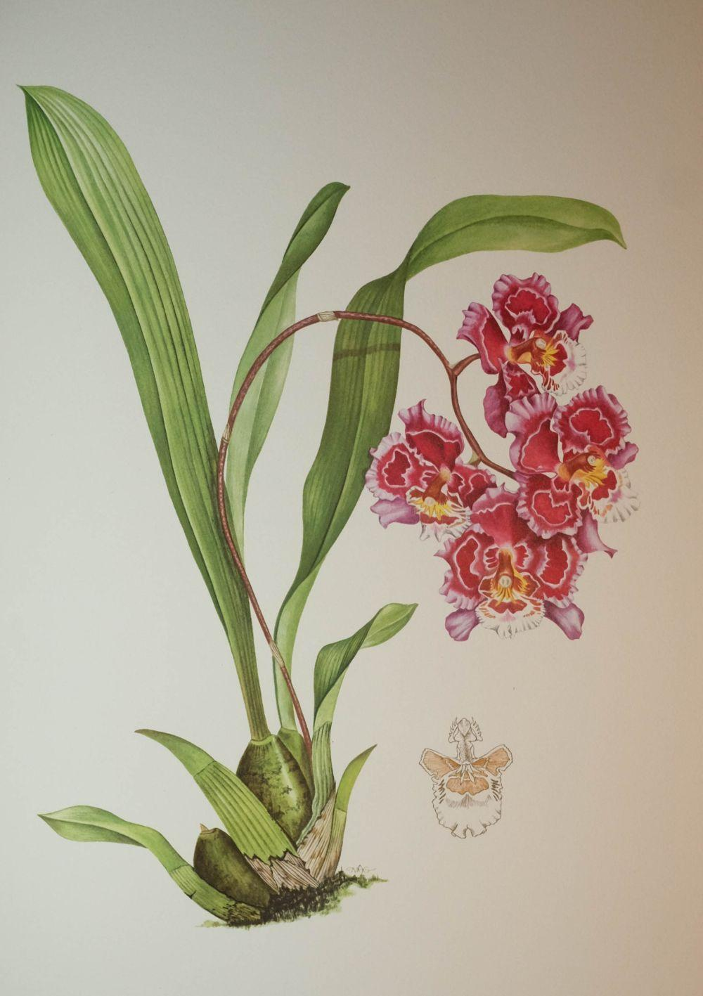Hunt (P. Francis and Grierson, Mary A.). Orchidaceae, 1973