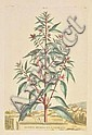 * Botany. Munting (Abraham), A collection of, Abraham Munting, Click for value