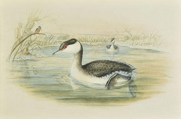 *Gould (Elizabeth, 1804-1841). Slavonian Grebe,