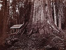 Eadweard Muybridge (1830-1904) - Wm. H. Seward. 85 Feet in Circumference. Mariposa Grove of Mammoth Trees, 1872