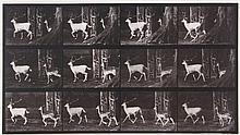 Eadweard Muybridge (1830-1904) - Fallow Deer, Buck and Doe, Trotting, Plate 685, 1887