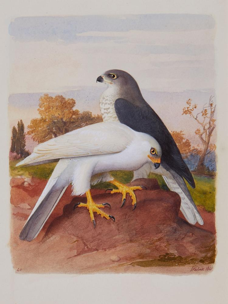 Wahast [(?Pierre Adolphe)] - 11 original ornithological studies,
