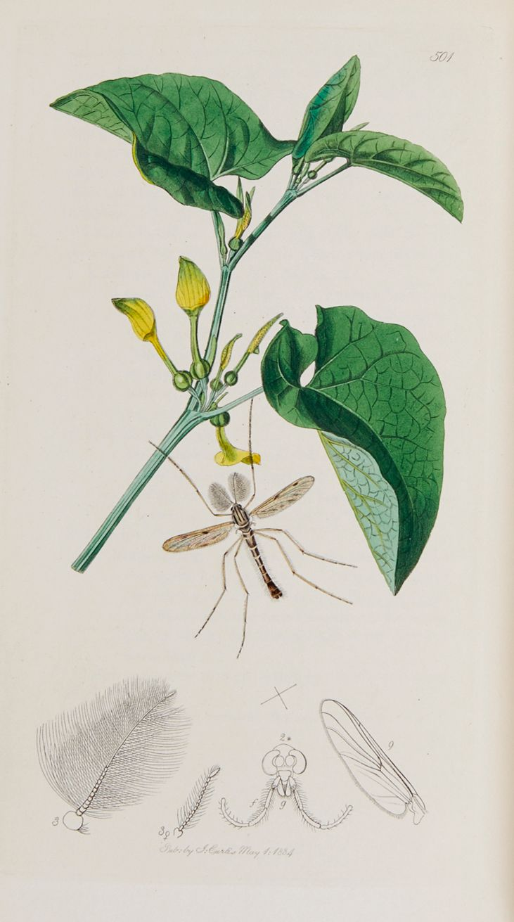 Curtis (John) - British Entomology, Diptera,