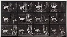 Eadweard Muybridge (1830-1904). Fallow Deer, Buck