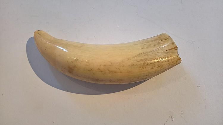 19th Century Sperm Whale Tooth, 15cm length x 4cm