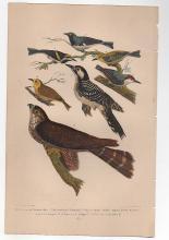 Bird Print  Alexander Wilson circa 1877
