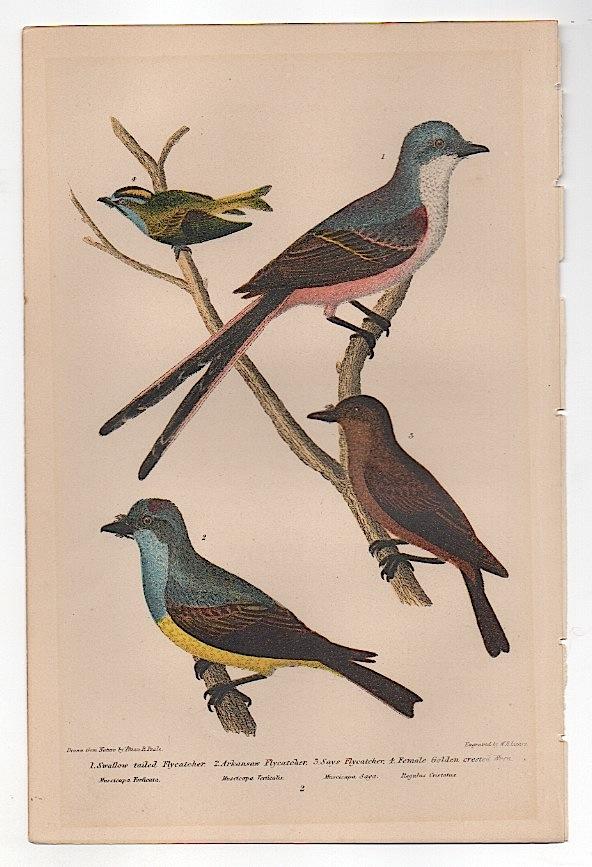 Bird Print by Alexander Wilson