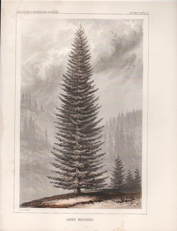 1857 Tree Lithograph