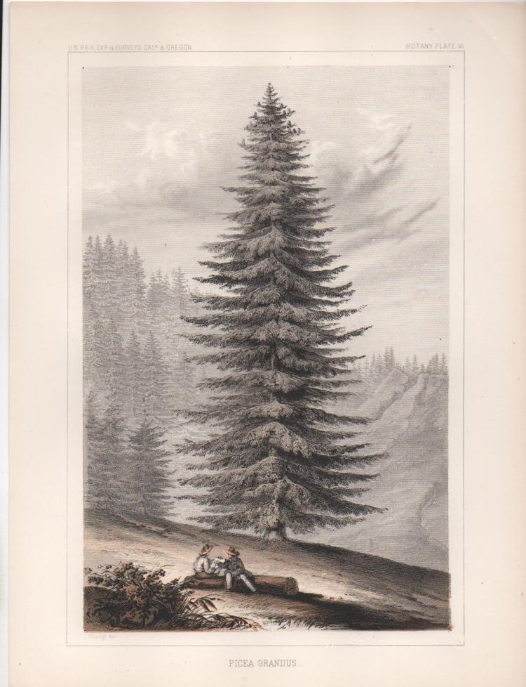 1857 Tree Lithograph