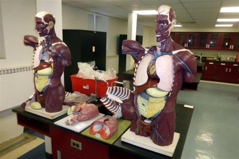 LOT-ANATOMY FIGURES W/ORGANS