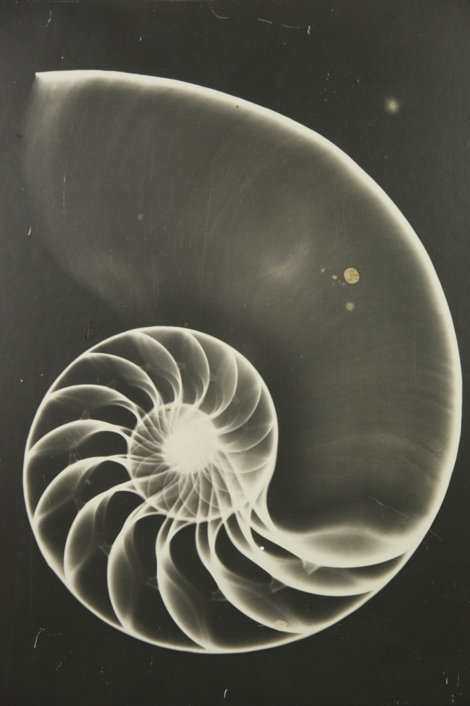X-ray Photography Of A Chambered Nautilus Shell