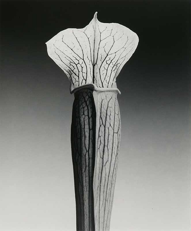 ARTIST: Robert mapplethorpe (1946-) TITLE: