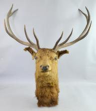 Five point mounted stag's head, 86cm across horns