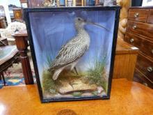 Taxidermy interest, Curlew in a glazed display cas