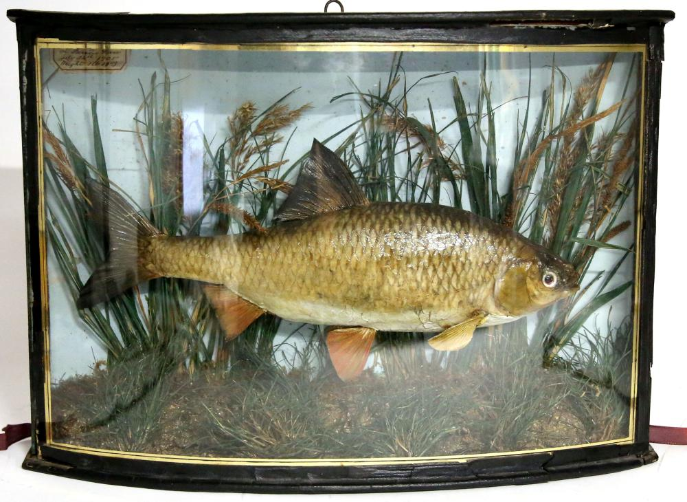 Taxidermy, Early 20th century mounted and cased sp