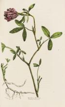 Grasses.- Sinclair (George) Hortus Gramineus Woburnensis, third edition, 1825.