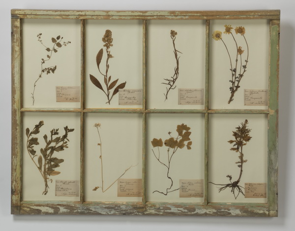 Botanical display, pressed flowers w/ vintage window