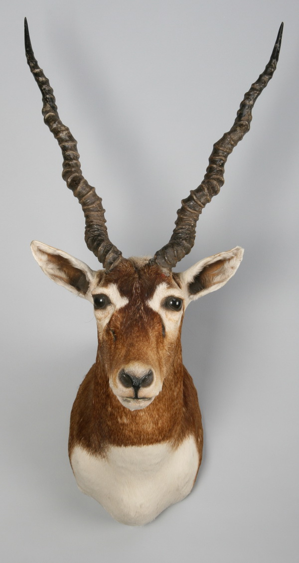 Black buck antelope shoulder mount
