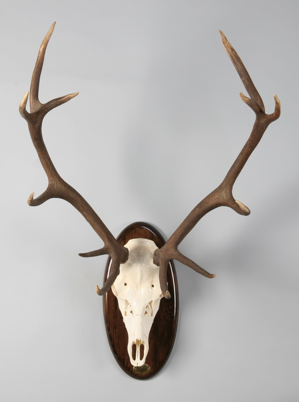 Red stag bleached skull mount