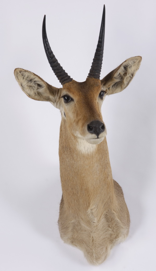 African reed buck shoulder mount