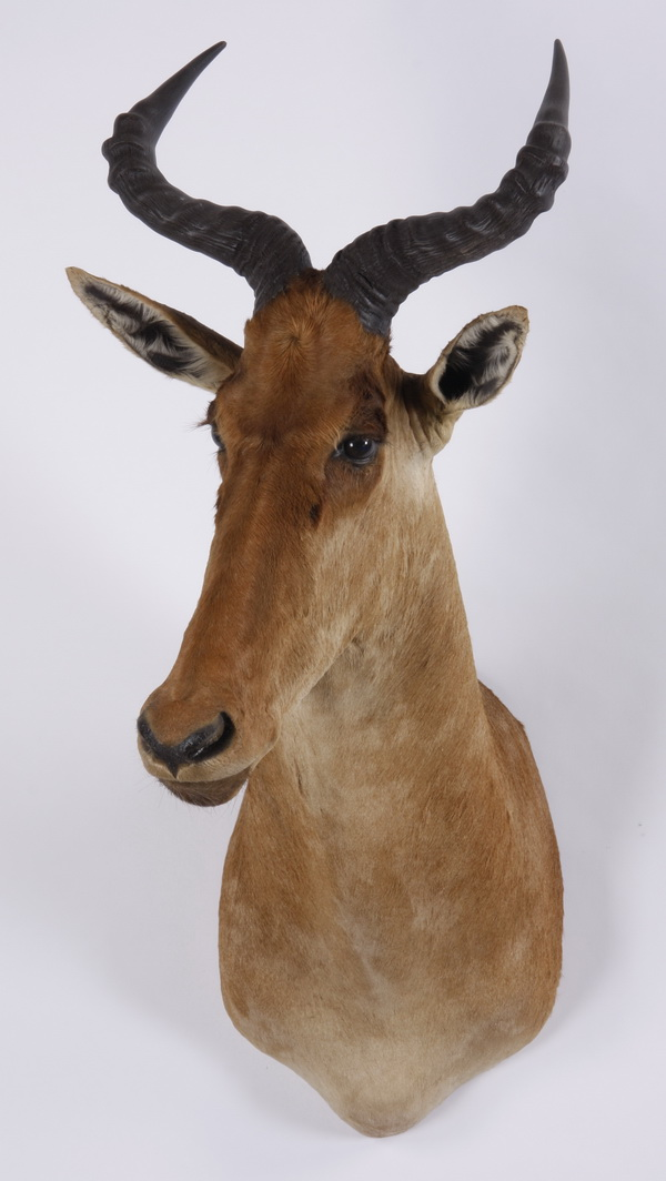 Red hartebeest shoulder mount
