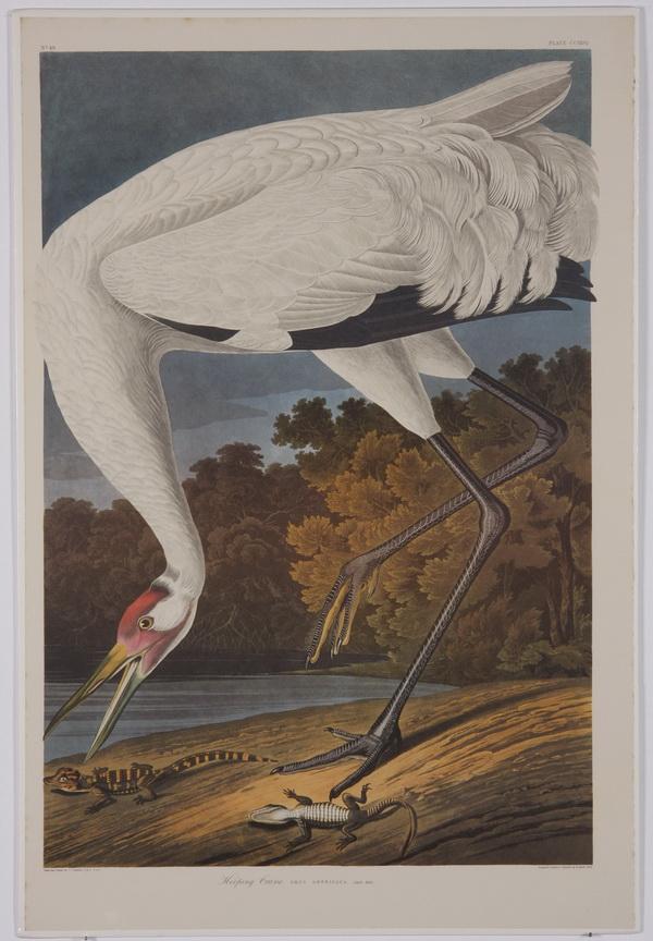 (5) Audubon / Amsterdam Edition lithographs