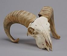 Bighorn ram bleached skull