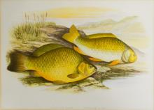 Coloured print, Prussian Carp; and two other prints of fish. (3)