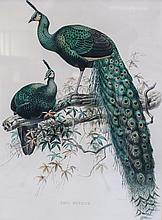 Elliot, Daniel Giraud Hand Colored Lithograph Peacock