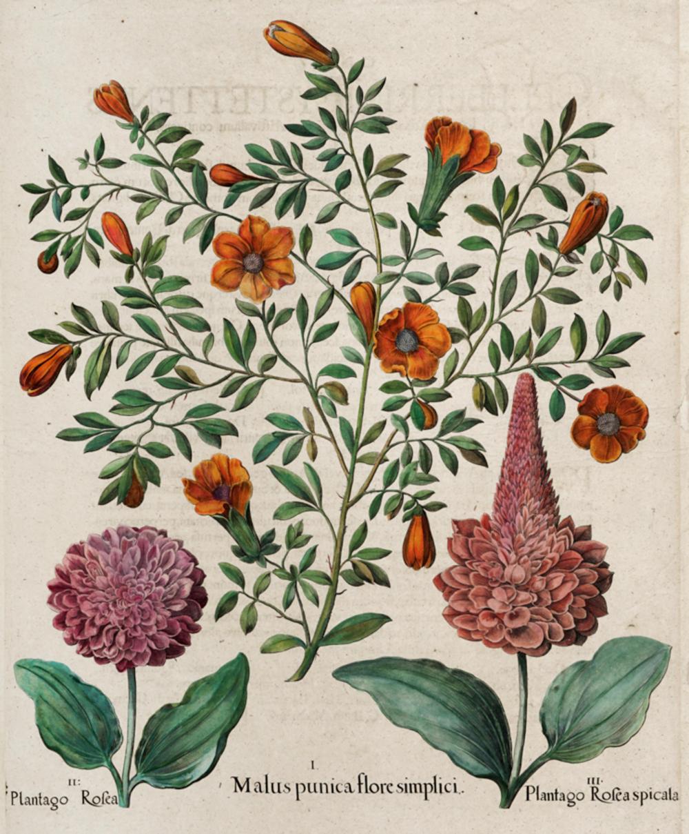 Basilius Besler, Cinque tavole da Hortus Eystettensis.