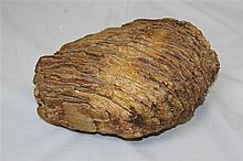 A mammoth's tooth, 9in.