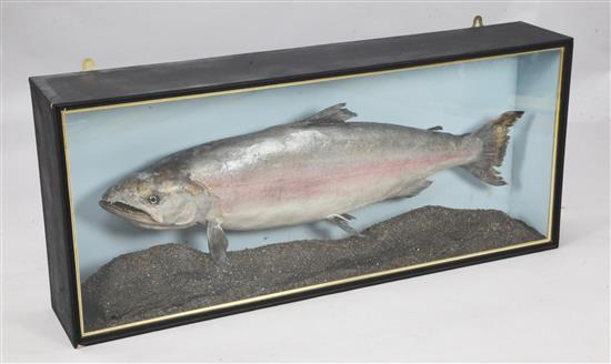 A taxidermic 52lb King Salmon caught by Margaret Debenham in Alaska 1994, 20 x 48in.