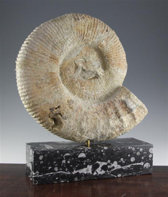 An ammonite, H.21in.