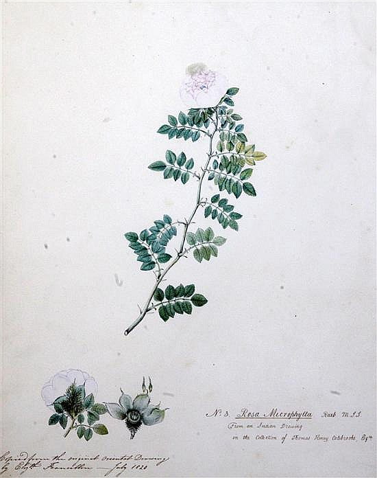 Elizabeth Francillon (East India Company) 2 botanical studies - 'Rosa Macrophylla' and 'Rosa Banksia' 17 x 14in.
