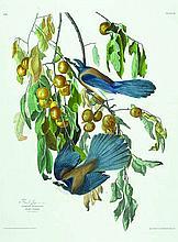 John James Audubon, Plate 87: