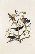 John James Audubon, Plate 157: