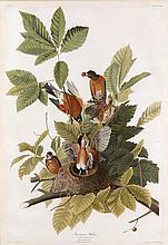 John James Audubon, Plate 131: