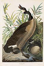 John James Audubon, Plate 201: