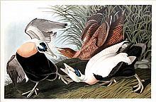 John James Audubon, Plate 246: