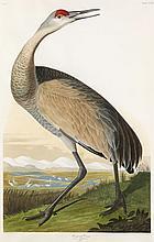 John James Audubon, Plate 261: