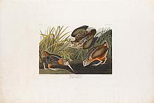 John James Audubon, Plate 268: