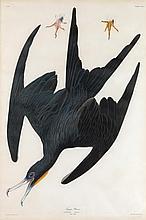 John James Audubon, Plate 271:
