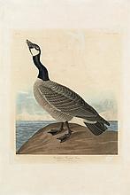 John James Audubon, Plate 277: