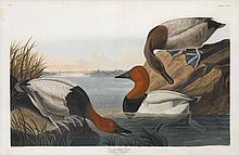 John James Audubon, Plate 301: