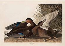 John James Audubon, Plate 302: